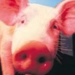 Piada literal de português: a porca que fazia dinheiro