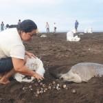 A verdade massacrada na desova de tartarugas na Costa Rica