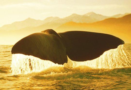 Mergulho da baleia jubarte