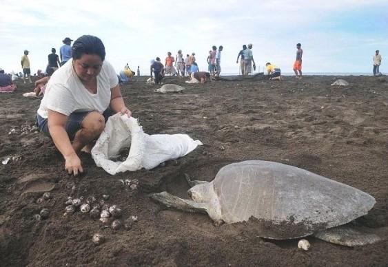 Coleta legal de ovos de tartaruga marinha na Costa Rica