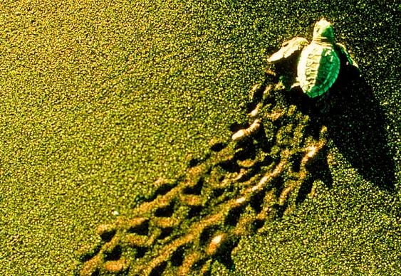 Preservação de tartarugas na Costa Rica