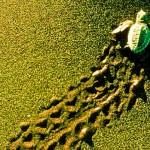Vídeo sensacional: a preservação das tartarugas na Costa Rica