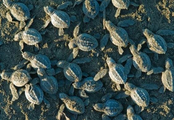 Tartaruguinhas correm para o mar na Costa Rica