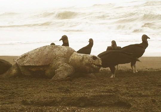 Zopilotes cercam tartaruga marinha