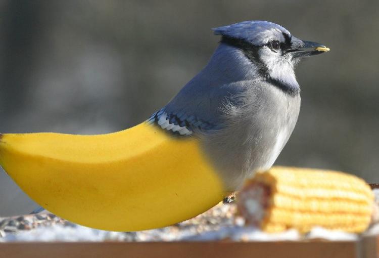 Bananarinho - mistura de banana com passarinho