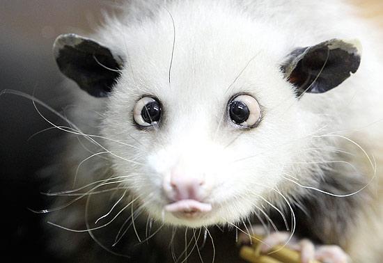 Heidi - marsupial vesgo