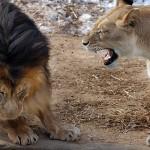 Leão que ruge não morde, sai de mansinho com o rabo entre as pernas