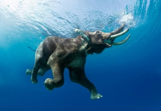 O nado do elefante