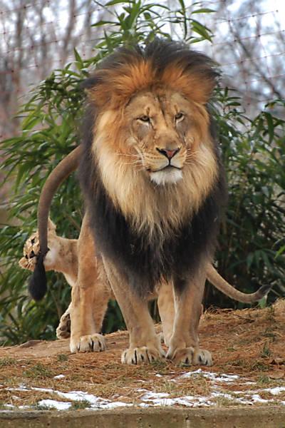 Leãozinho morde rabo do pai