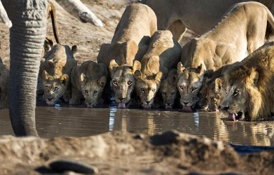 Leões matam sede em caçada