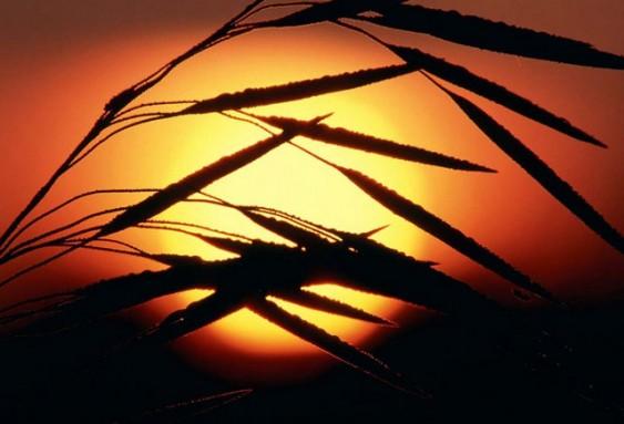 Cio da Terra - ramo de trigo