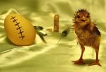 Cesariana em ovo de galinha