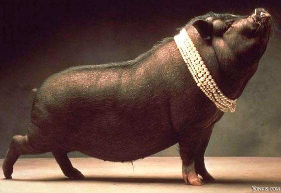 Inseminação artificial de porcas