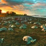 Tartarugas marinhas começam a desovar nas praias brasileiras