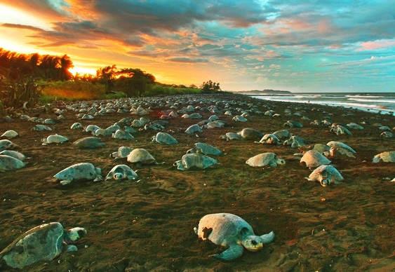 Arribada - desova das tartarugas na Costa Rica