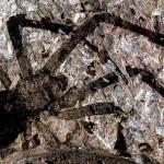 Encontrada aranha jurássica gigante de 165 milhões de anos