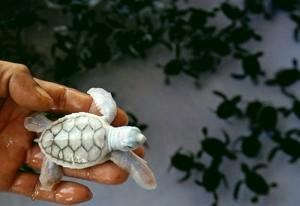 Tartaruga branca