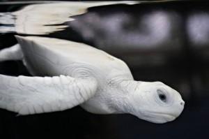 Tartaruguinha da espécie verde com albinismo - ampliada