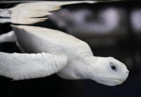 Tartaruguinha de cor branca