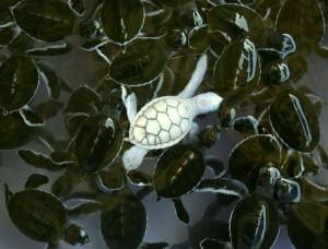 Tartaruga marinha - papel de parede