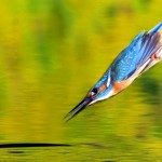 O ataque aéreo fulminante do passarinho martim-pescador