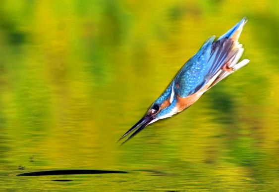 Pássaro Martim-Pescador