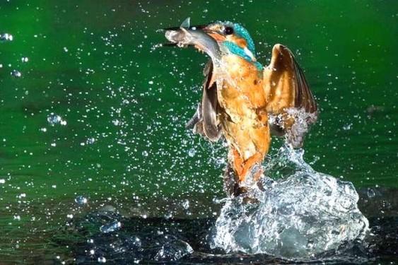 Passarinho Martim-Pescador