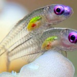 Peixinhos transparentes ganham concurso de fotografia submarina