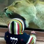 Vídeo da leoa que tenta comer bebê no Zoo e uma piada louca