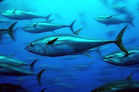 Atum ameaçado de extinção