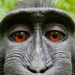 Melhores fotos com auto-retrato do macaco que roubou máquina fotográfica