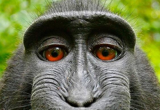 Macaco tira foto rindo
