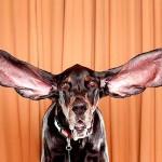Vídeo do cachorro mais orelhudo do mundo que foi para o Guinness