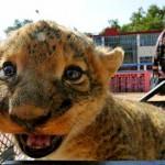 Filhote de leão 'sorri' para a câmera durante seu primeiro passeio