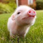 Mitos e mentiras sobre o porco, um distinto ser da nossa fauna