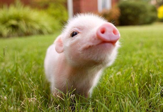 Filhote de porco