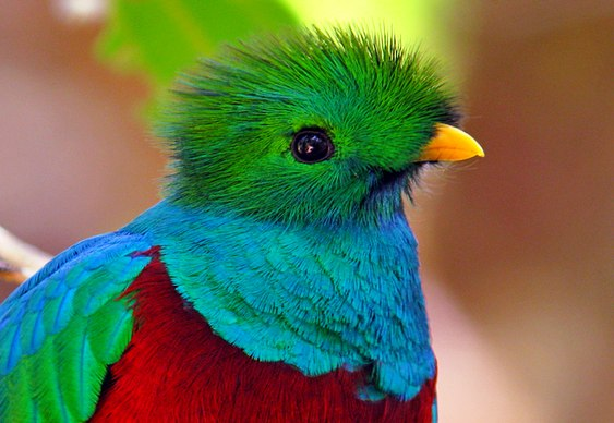 Quetzal Resplandescente