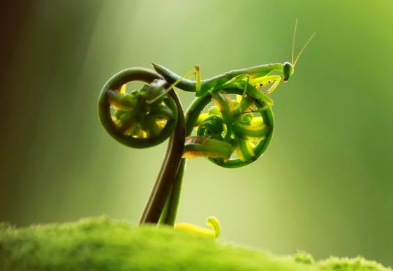 Louva-a-deus na bicicleta