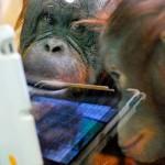 Macacos dominam tecnologia e já sabem usar tablets iPad