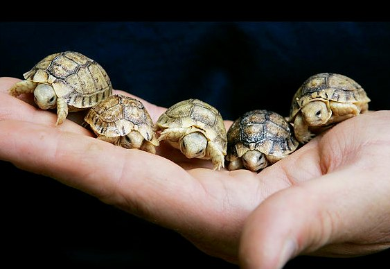Mini tartarugas