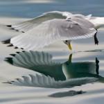Gaivota em voo rasante ve seu reflexo na superfície da água do mar