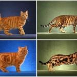 Descobertos genes que criam listras em gatos e felinos selvagens