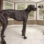 Zeus, o maior cachorro do mundo, mede 1 metro e 12 cm de altura