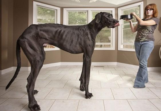 Zeus - Dogue Alemão