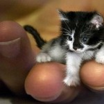 Menor gato do mundo tem menos de 5 cm e cabe na palma da mão