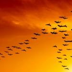 Solidariedade que aprendemos com voo dos gansos selvagens