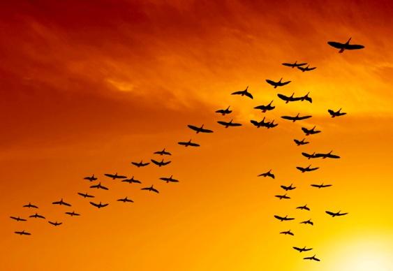 Bando de pássaros em V