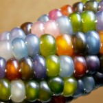 O incrível milho colorido que lembra colares e pulseiras