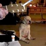 Winston, o cachorro bulldog surdo que dança conforme a música