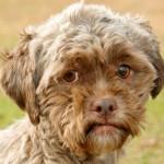 Adote um cachorro com feições quase humanas